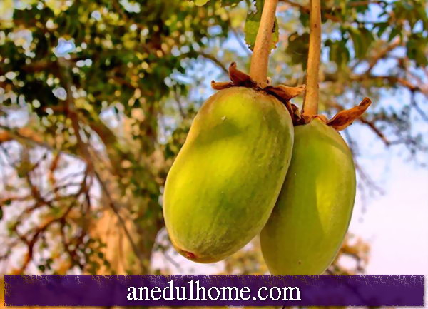 Baobab Tree (Adansonia) - Fruit, Repot, Slice