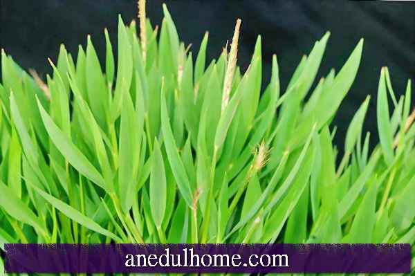 Zimmerbambus (Pogonatherum paniceum) - buy, maintain and enjoy
